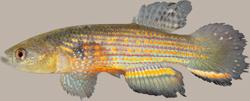 00-0-Copr_2015-WEJM_Costa-Holotype-UFRJ_10088-41mmSLt.png