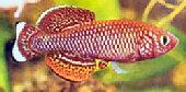 Redfish2t.jpg