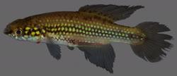 00-0-Copr-2016_W_Costa-holotype_UFRJ_10662t.jpg