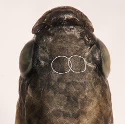 01-0-Copr-2016_W_Costa-holotype_UFRJ_10662t.jpg